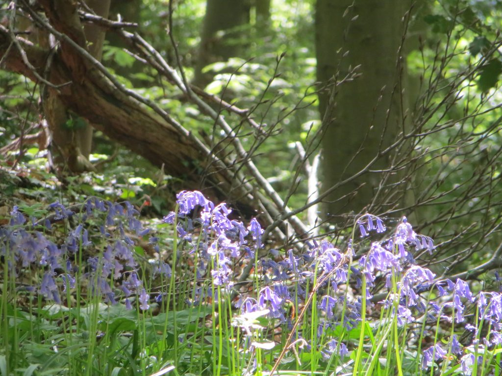 bluebell woods image