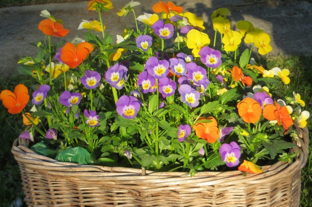violas and pansies in basket